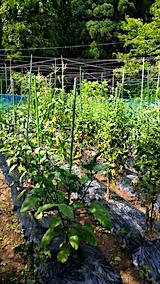 20170729野菜畑の様子1