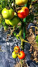 20170729野菜畑トマト