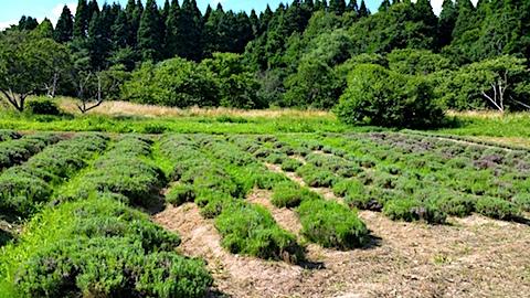 20170729草刈り前のラベンダー畑の様子2