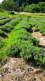 20170729草刈り前のラベンダー畑の様子3