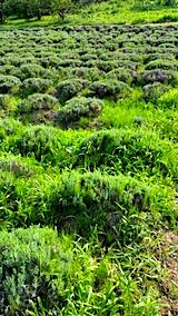 20170729草刈り前のラベンダー畑の様子5