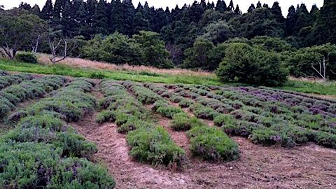 20170729草刈り後のラベンダー畑の様子2