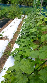 20170730野菜の畑キュウリ