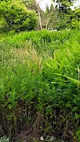 20170730ミョウガ畑までの草刈り前の様子6
