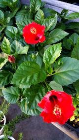 20170811外の様子朝真っ赤なハイビスカスの花