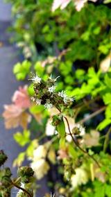 20170811ハーブマジョラムの花