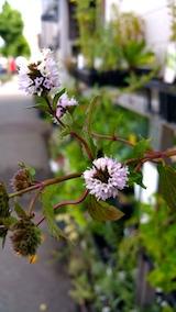 20170811ハーブペパーミントアメリカンブラックミントの花