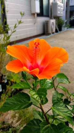 20170811外の様子夕方ハイビスカスの花