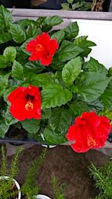 20170812外の様子朝真っ赤なハイビスカスの花