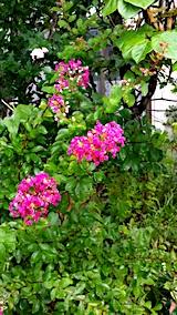 20170812山へ向かう途中の様子サルスベリの花