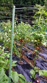 20170812野菜畑の様子