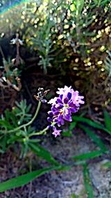 20170815早咲きラベンダーこいむらさきの花