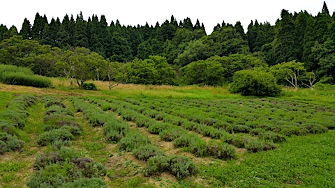 20170816ラベンダー畑の様子1