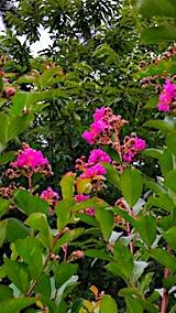 20170816山の様子サルスベリの花