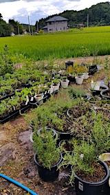 20170817苗や鉢植えに水やり