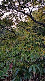 20170817山の様子枯れ始めた栗の木