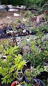 20170817山の入り口の様子鉢植えの草取りと整理2