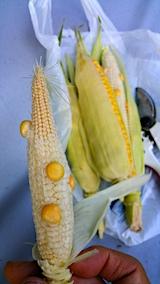 20170818今日収穫したトウモロコシ