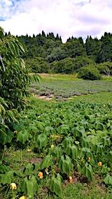 20170818ラベンダーの畑とカボチャの畑1