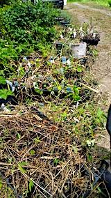 20170818山の入り口の様子鉢植えの草取りと整理3