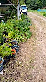 20170818山の入り口の様子鉢植えの草取りと整理4