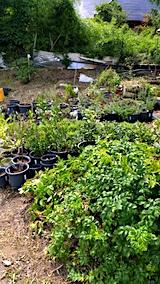 20170818山の入り口の様子鉢植えの草取りと整理6