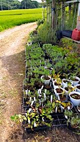 20170818山の入り口の様子鉢植えの草取りと整理7