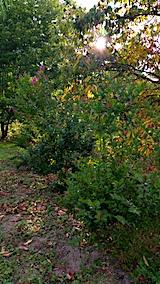 20170819山の様子三株のサルスベリの木