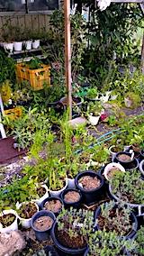 20170819山の入り口の様子鉢植えの草取りと整理1