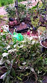 20170819山の入り口の様子鉢植えの草取りと整理2