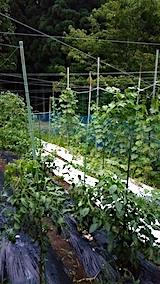 20170822野菜畑の様子