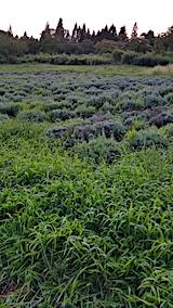 20170826ラベンダー畑の草刈り前の様子3