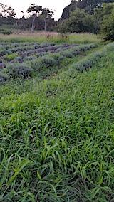 20170826ラベンダー畑の草刈り前の様子4