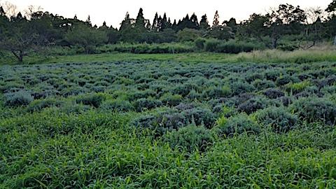20170826ラベンダー畑の草刈り前の様子5