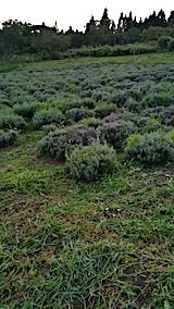 20170826ラベンダー畑の草刈り後の様子3