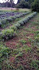 20170826ラベンダー畑の草刈り後の様子4