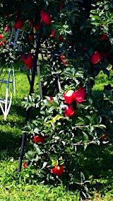 20170901田中君宅より帰る途中の様子真っ赤名リンゴの正体
