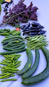 20170903今日収穫した野菜