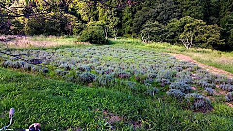 20170903草刈り前のラベンダー畑の様子1