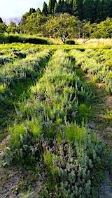20170903草刈り前のラベンダー畑こいむらさき