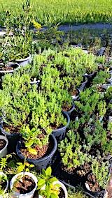 20170905山の鉢植えラベンダーと苗1