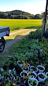 20170905山の鉢植えラベンダーと苗2