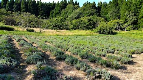 20170905草刈り前のラベンダー畑の様子