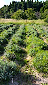 20170905草刈り前のラベンダー畑おかむらさき