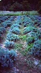20170905草刈り後のラベンダー畑おかむらさき