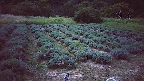 20170905草刈り後のラベンダー畑の様子2