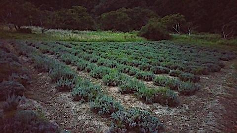 20170905草刈り後のラベンダー畑の様子1