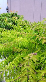 20170907紫式部の紫色と白色のつぼみ