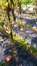 20170908野菜畑カラスの被害トマト1