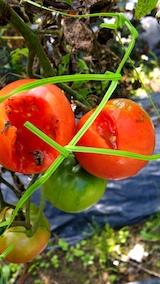 20170908野菜畑カラスの被害2